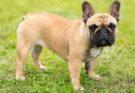 Французские бульдоги – популярная порода больных собак