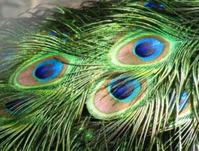 Инженерами изучается «застёжка-молния» птичьего пера