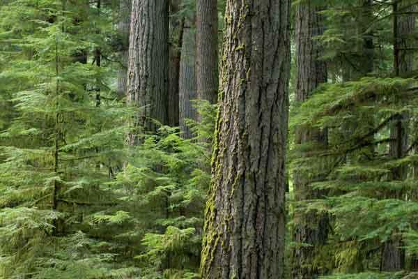 Австралийский лес Douglas Fir