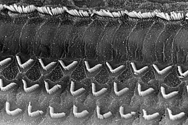 Волосковые клетки мышей обещают помочь вылечить глухих людей