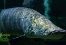 Рыба Арапаима как основа технологии защитных конструкций ВВС США