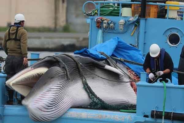 Новая технология измерения массы тела китов дронами осваивается учёными